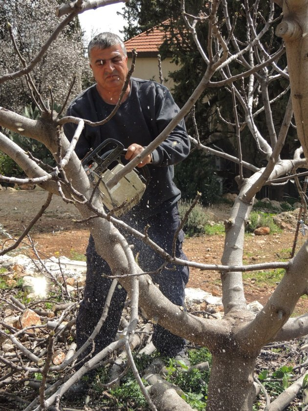 How to prune fruit trees.