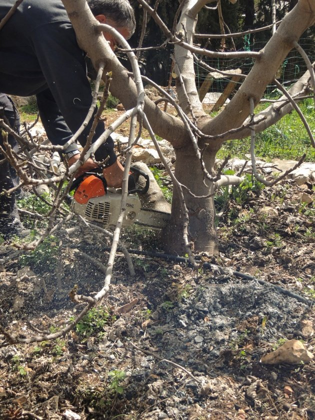 Pruning a fig tree.