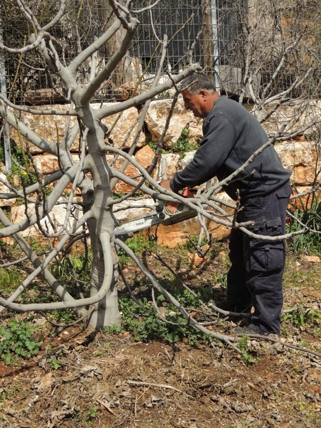 How to prune fruit trees right. Join me for a tutorial on why, when, and how to prune fruit trees to encourage healthy growth and fruitfulness. #LadyLeesHome #fruittrees #pruning #fruittreecare #fruit #gardening #homesteading