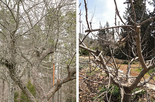 A comparison between a pruned tree and a neglected tree.