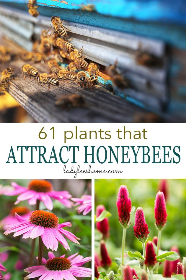 Here is a list of 61 plants that attract honeybees and other pollinators. This list will give you an idea of which wild plants bees love to work and some ideas on what to plant in your own garden. #beekeepingforbeginners #beekeeping #plantforbees #gardening #growingflowers #homesteading