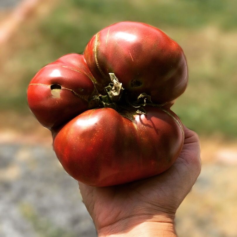 How and when to plant tomatoes in the garden. Once you have your plants ready for transplanting into the garden, there are a few important steps to follow to ensure strong tomato plants and a great tomato harvest.