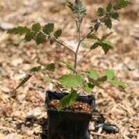How and When to Plant Tomatoes Outside