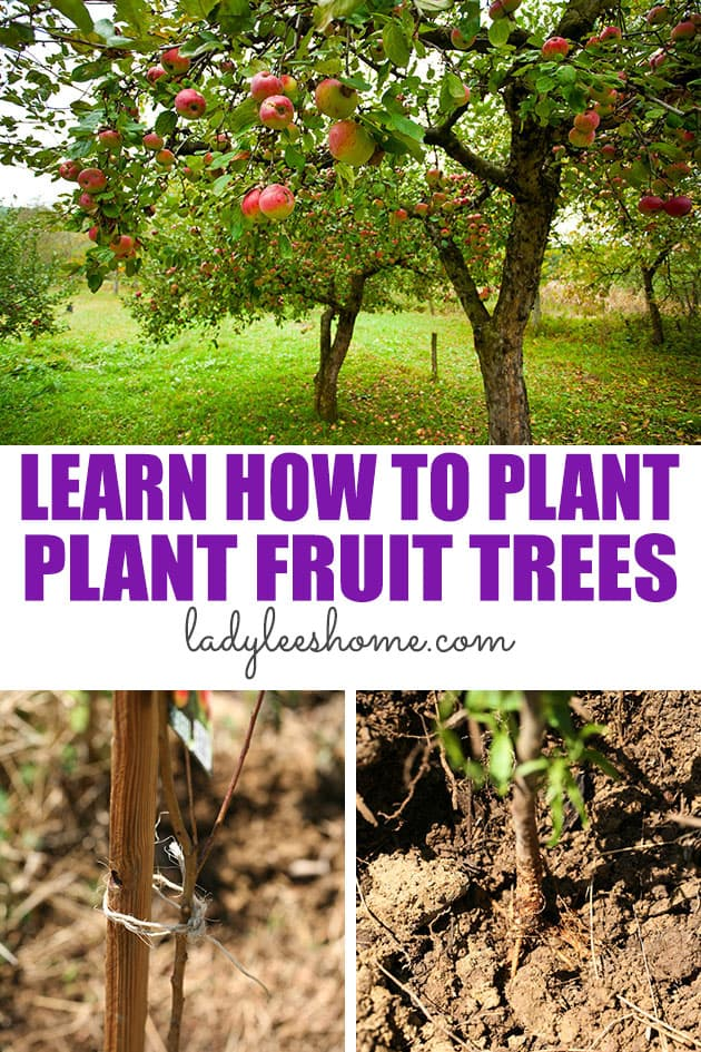 Learn how to plant fruit trees. We'll go over, where, when, and how to plant fruit trees so they take off easily!