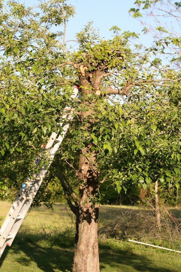 How to thin fruit trees. I know it's going to be painful to your soul to pull perfectly-looking fruit off of your tree, but believe me, just like thinning vegetables, it is necessary to thin the fruit on your fruit tree. In this post, we will learn why it is so important and how to do it.