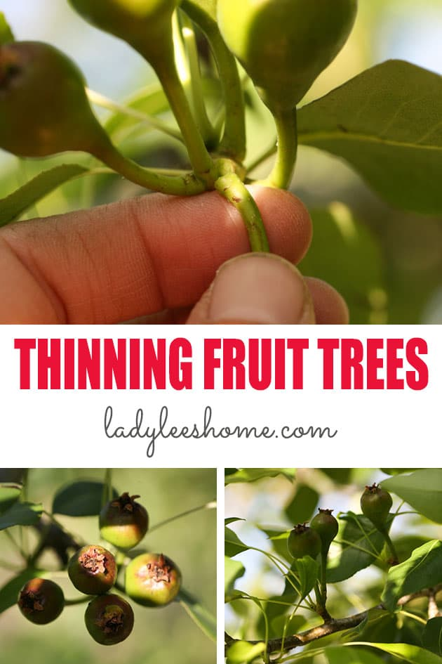 Learn how to thin fruit trees. Learn why it's so important to thin your fruit trees and how to do it in this step by step picture tutorial.