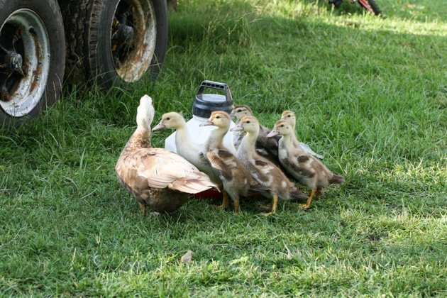 Raising Muscovy Ducks, here is everything you need to know about this easy to care for animal that is super productive and friendly.