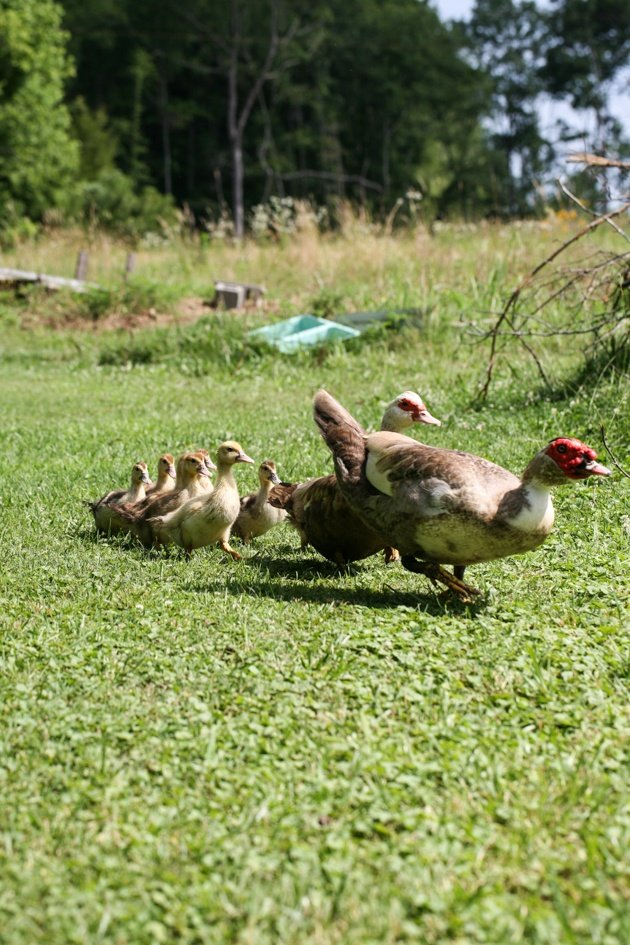 Muscovy ducklings follow mom and dad