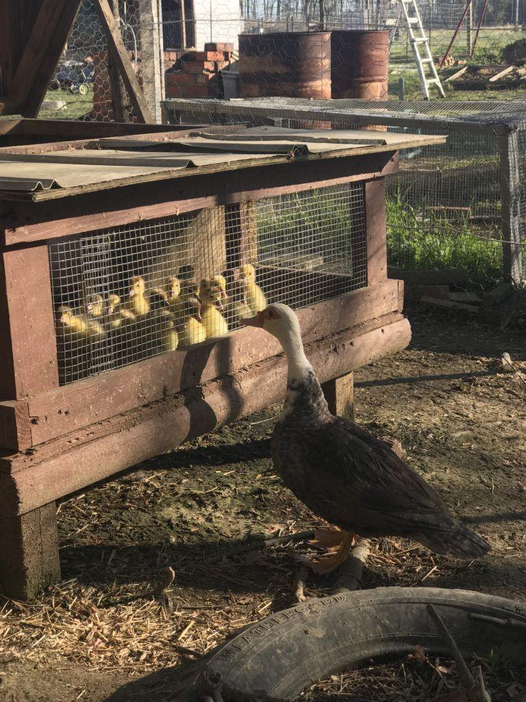 Muscovy duckings in a brooder.