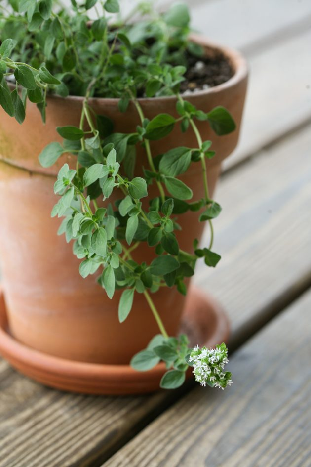 Oregano flowering in a container herb garden