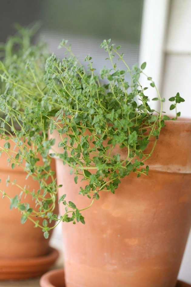 In this post I will share with you 10 tips for growing herbs in containers. We will go over why I think that it's better to grow herbs in containers instead of in the garden and I'll share my experience and personal tips for growing better herbs. #growingherbs #gardening #organicgardening #garden #herbs #growingherbscontainers #oregano #thyme #rosemary #homesteading #ladyleeshome