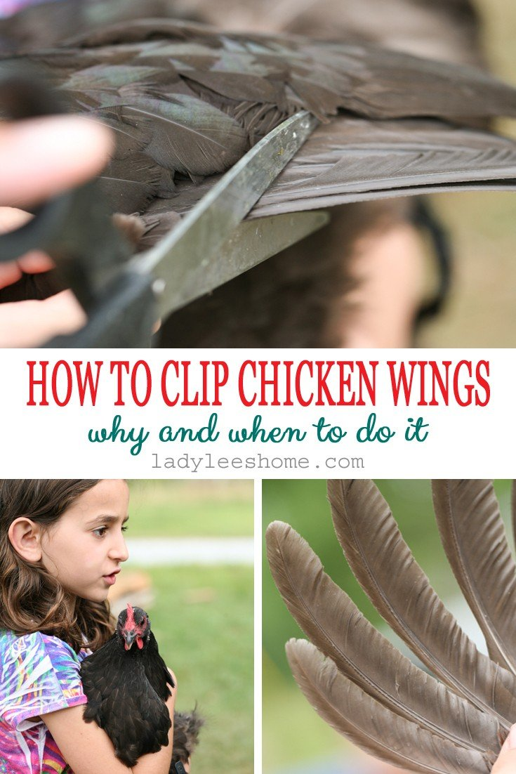 In this post, we will learn how to clip chicken wings. We will go over when is it a good idea to do it and how to get it done. It's just a simple task that can save you a lot of headaches if you are trying to keep your chickens in one place. #chickens #raisingchickens #homesteading #homestead #howtoclipchickenwings #ladyleeshome