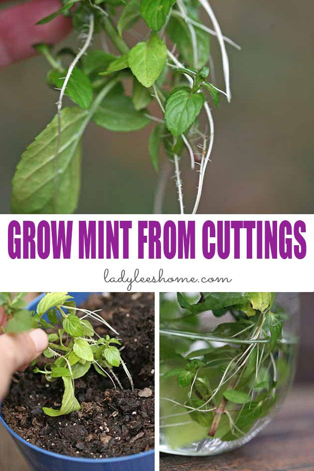 Let me show you in a step by step picture tutorial how to grow mint from cuttings. Propagating mint is very easy. You can have a mint plant by next week! #howtogrowmintfromcuttings #growingmint #propagatingmint
