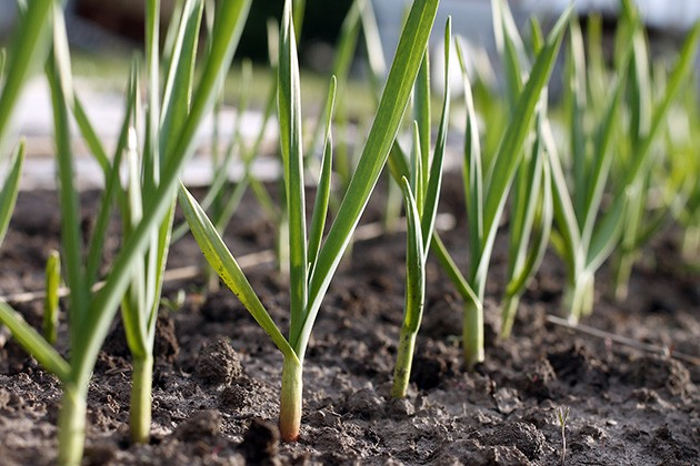 Learn when and how to plant garlic for best harvest! Grow your own food with these organic gardening tips and start with garlic. Fresh garlic is both a staple in cooking and a powerful natural medicine. #garlicbenefits #diygarlic #easyvegetablestogrow #growyourownfood #freshgarlic #homemadegarlic #plantinggarlic #herbgardenmedicinal #gardenlife #growherbs #herbstogrow #ladyleeshome