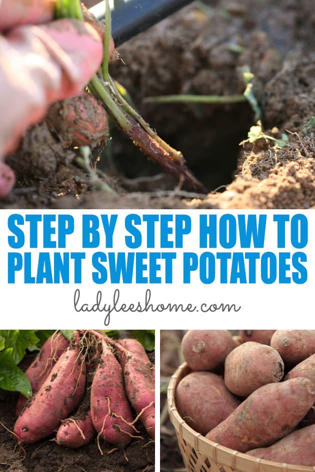 Let's learn how to plant sweet potatoes! We'll go over how you can grow potato slips on your own, where to purchase them if you decide not to grow them, and how to plant them in the garden correctly to ensure the best harvest. #howtogrowsweetpotatoes #howtoplantsweetpotatoes #sweetpotatoes #organicsweetpotatoes #plantsweetpotatoes #gardening #gardeningtips #organicgardening #homesteading