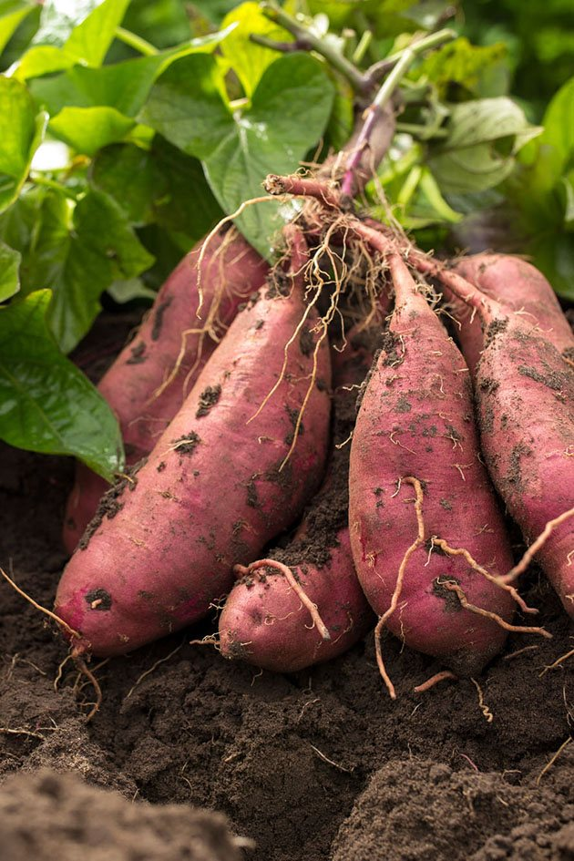 How To Plant Sweet Potatoes - A Step-by-Step Guide