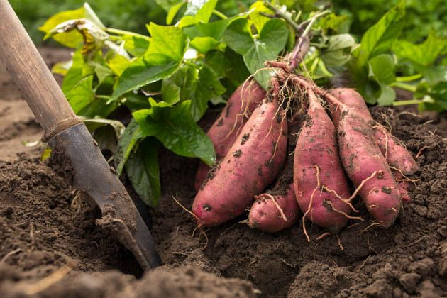 In this post, we will learn how to plant sweet potatoes. We are going to go over how you can grow potato slips on your own, where to purchase them if you decide not to grow them, and how to plant them in the garden correctly to ensure the best harvest.  #howtogrowsweetpotatoes #howtoplantsweetpotatoes #sweetpotatoes #organicsweetpotatoes #plantsweetpotatoes #gardening #gardeningtips #organicgardening #homesteading