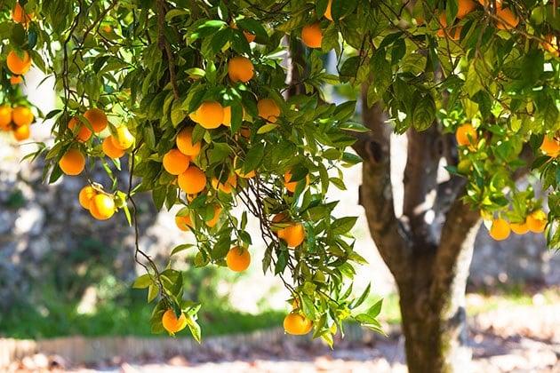 Orange tree full of oranges.