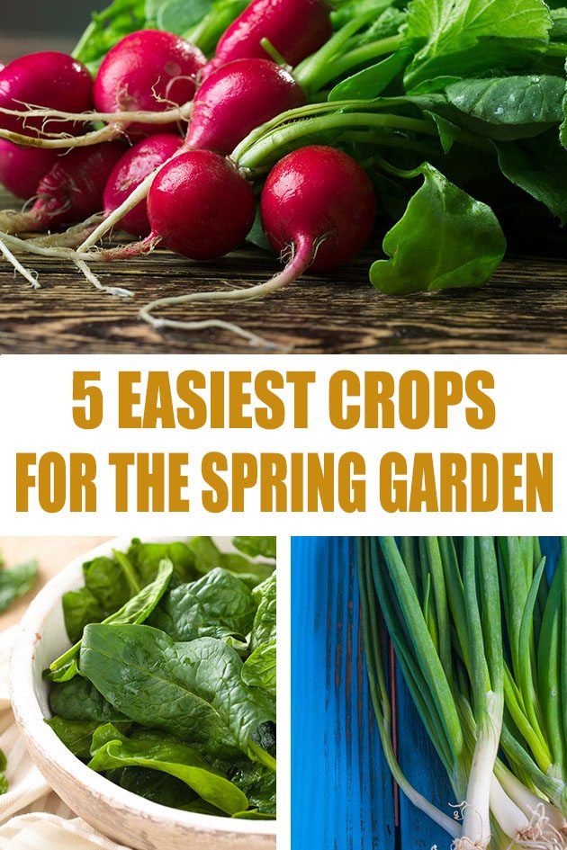 5 easiest cold-weather crops to grow in your Spring or Fall garden. Fast-growing, no special soil requirements, easy to plant, can be started early, no pests and useful in the kitchen. #gardening #organicgardening #vegetablegardening #springgarden
