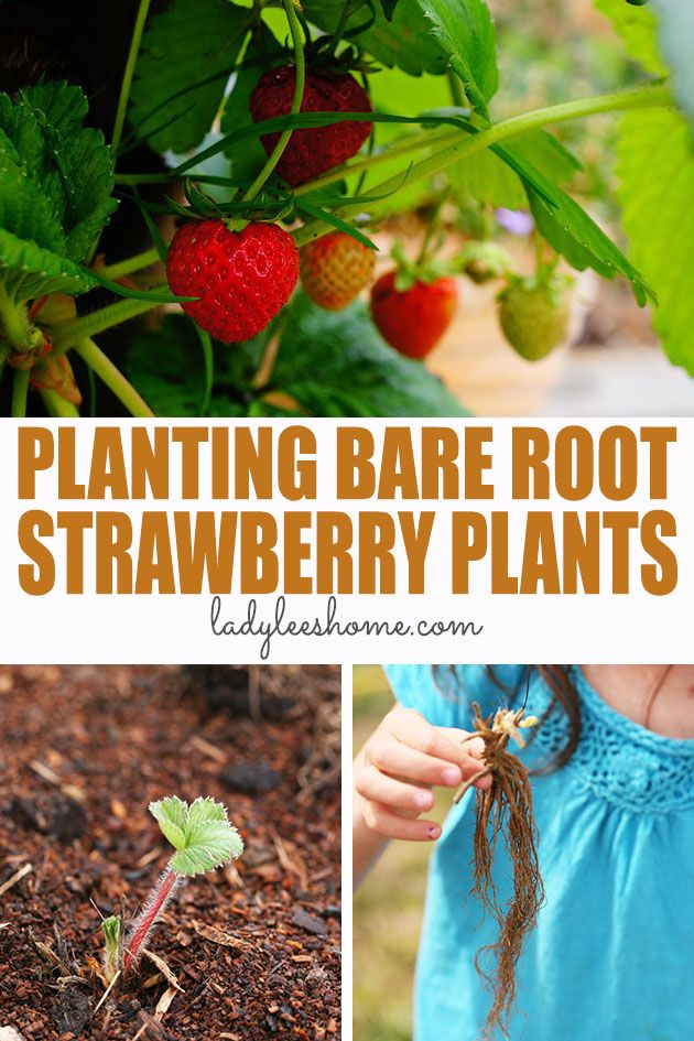 How to plant bare root strawberries. We'll go over purchasing your bare root strawberries, where to plant them, when, how to plant bare root strawberries, and how to care for your plants so they produce a ton of berries! #barerootstrawberries #growingstrawberries