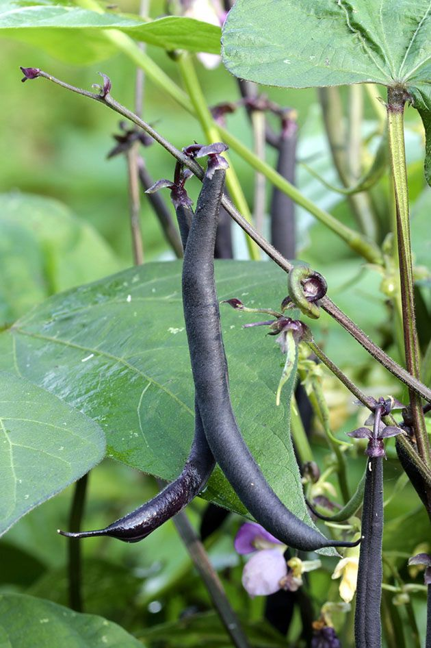 Purple pole beans.