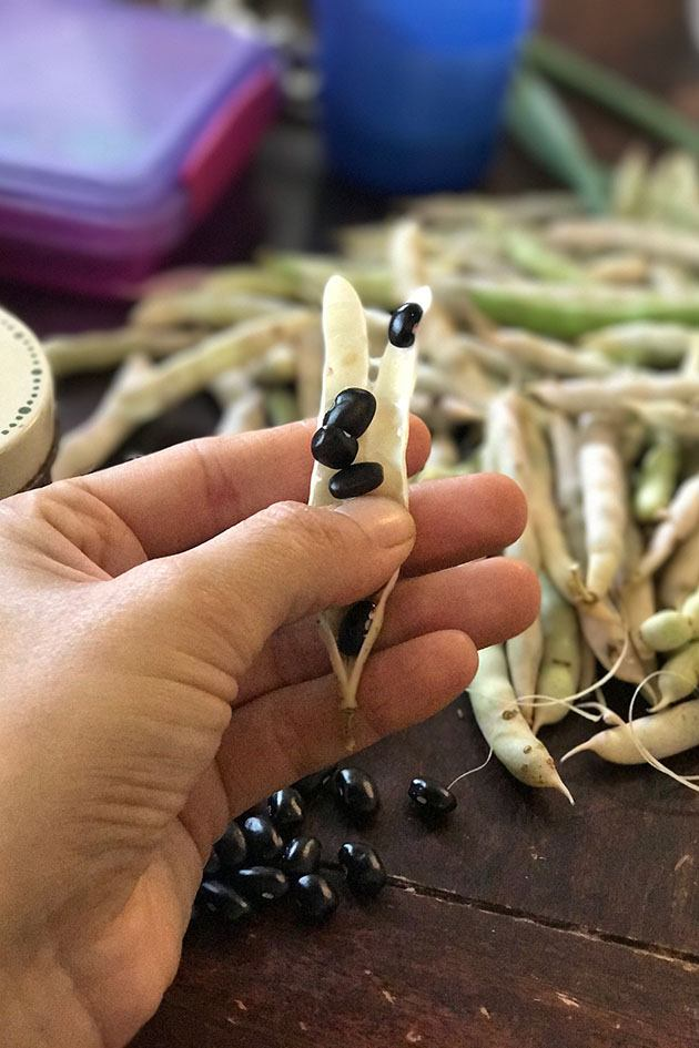 Shelling dry beans - how to grow beans from seed.