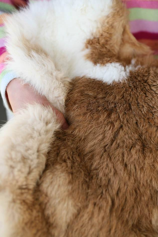 A step-by-step picture tutorial on how to tan a rabbit hide. You can use this simple method to tan any small animal hide fur-on. #howtotanarabbithide #hidetanning #braintanning #rabbits
