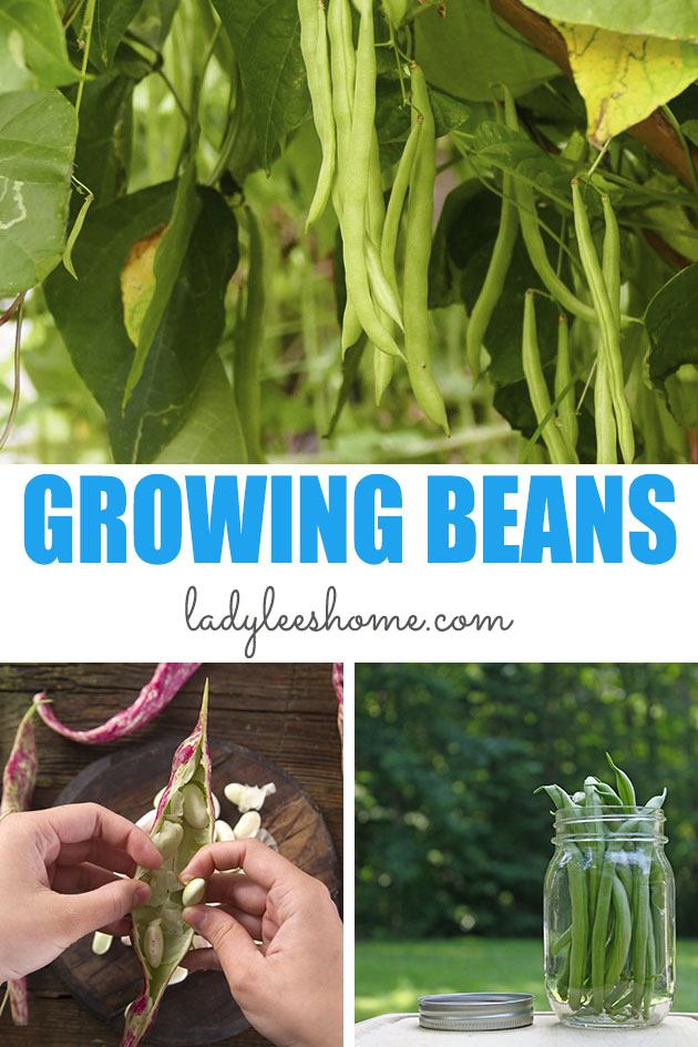 Everything that you need to know about how to grow beans from seed. Best bean varieties, how to plant beans, how to care for beans in the garden, how to harvest and store beans... #howtogrowbeans #howtoplantbeans #beangrowingtips #organicgardening #homesteading