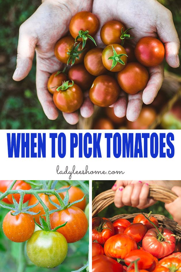When To Pick Tomatoes Lady Lee S Home