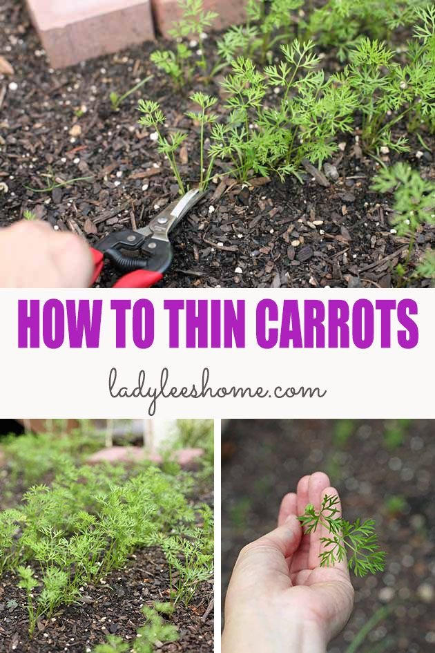 How to thin carrots two different ways to ensure maximum production of beautiful carrots. I'll also show you what you can do with what you thin so you don't waste a thing! #howtothincarrots #thinningcarrots #growingcarrots