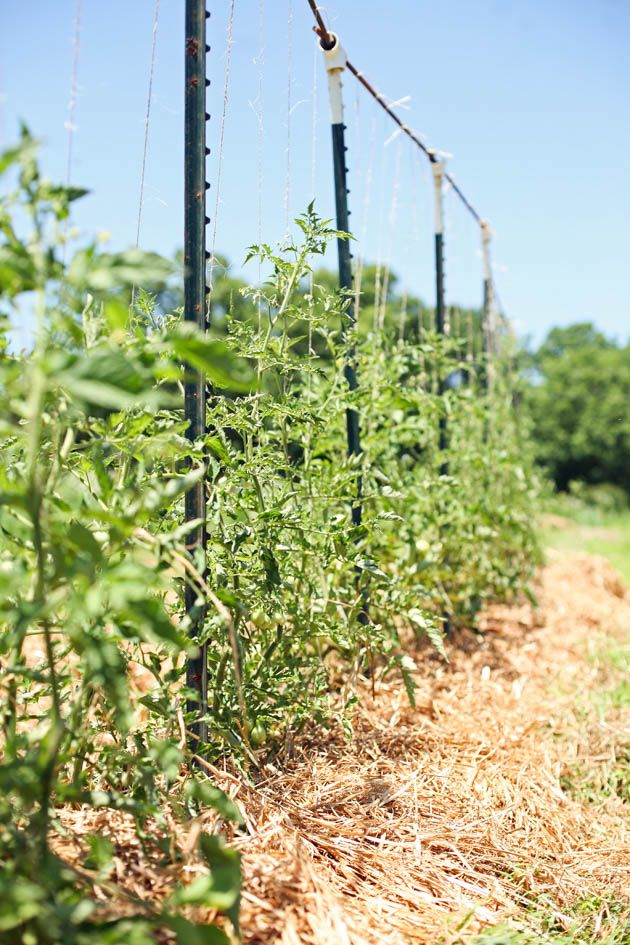 A tomato trellis that works!