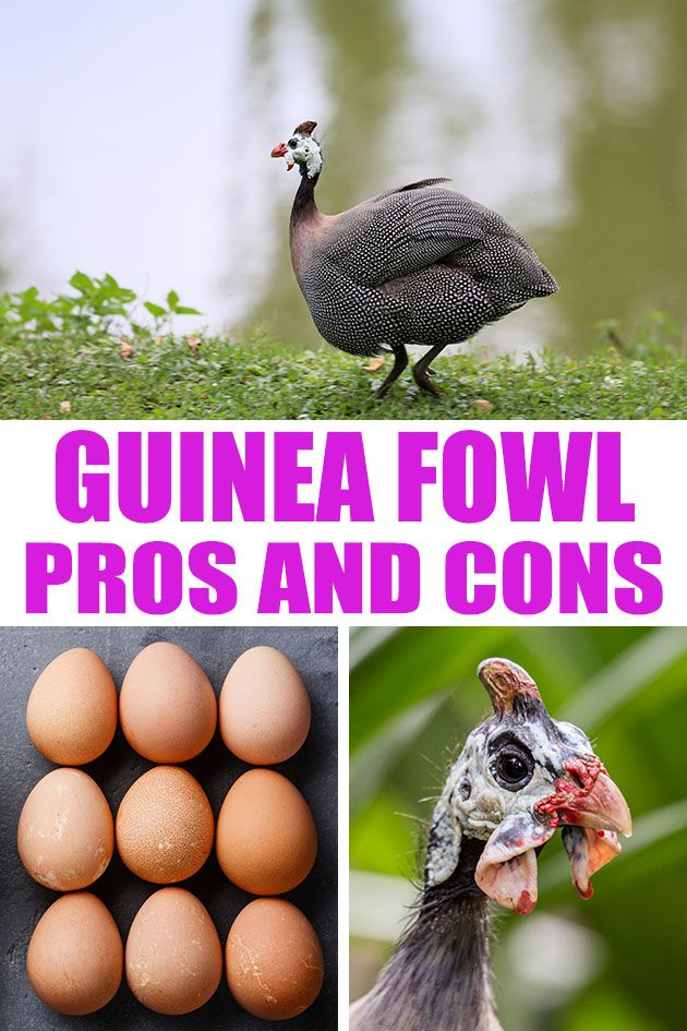 Learn the advantages and disadvantages of owning guinea fowl. Are guinea fowl right for your homestead? Let's consider the pros and cons of this bird.  #guineafowl #guineahen #raisingguineafowl