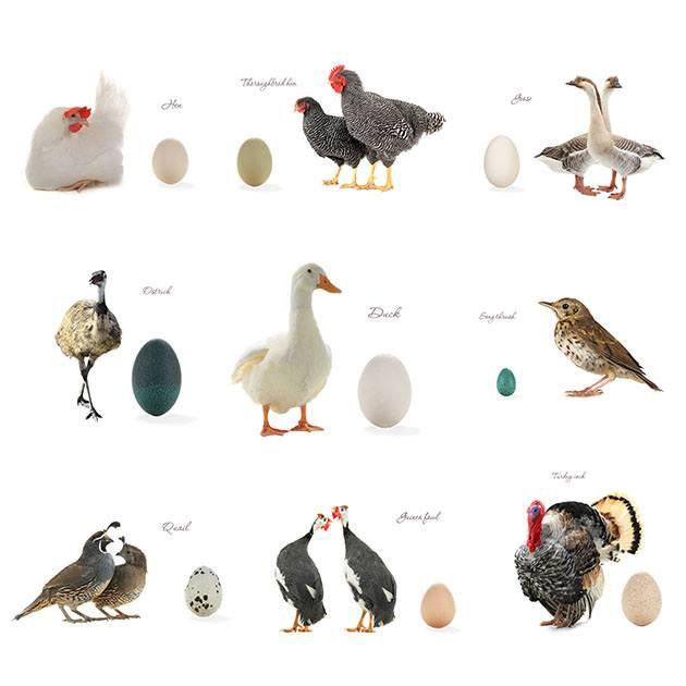Farm birds and their eggs.