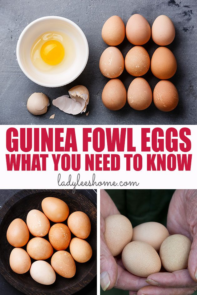 Guinea fowl eggs are healthy, tasty, rich, creamy, and can be used just like chicken eggs. In this post, you'll find all the information you need about guinea fowl eggs.  #guineafowl #guineafowleggs #guineahens