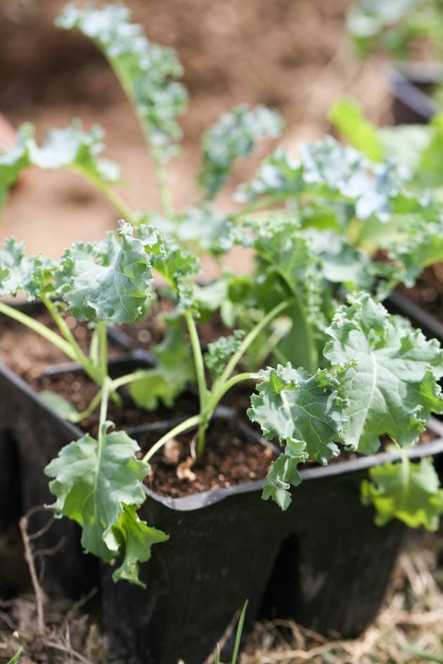 Kale seedlings.