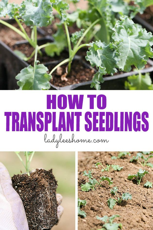 Let's learn how to transplant seedlings to the garden the right way so we don't lose the plants and so that they can get a healthy and strong start! #transplanting #seedlings #seedstarting #vegetablegardening