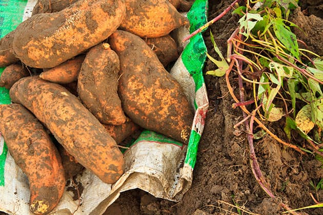 Harvesting sweet potatoes.