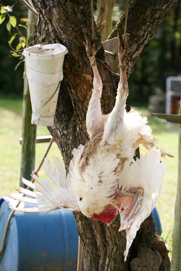 Hanging the turkey before killing.