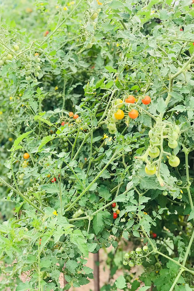 Close view of Matt's Wild tomatoes on the vine.