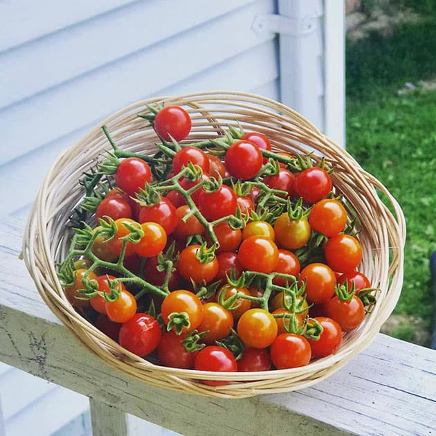 A basket of Matt's Wild tomatoes.