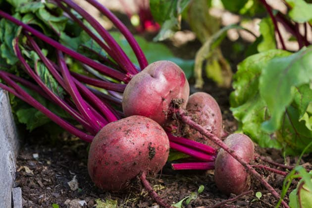 Freshly picked beets.